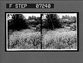 view [Blossoms.] 21075 interpositive digital asset: [Blossoms.] 21075 interpositive.