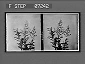 view [Blossoms.] 21076 interpositive digital asset: [Blossoms.] 21076 interpositive.