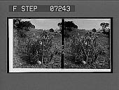 view [Blossoms.] 21077 interpositive digital asset: [Blossoms.] 21077 interpositive.