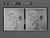 view [Blossoms.] 21088 interpositive digital asset: [Blossoms.] 21088 interpositive.