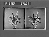 view [Blossoms.] 21090 interpositive digital asset: [Blossoms.] 21090 interpositive.