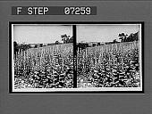 view [Blossoms.] 21091 interpositive digital asset: [Blossoms.] 21091 interpositive.