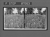 view [Flowers.] Active no. 21095 : stereo interpositive digital asset: [Flowers.] Active no. 21095 : stereo interpositive.