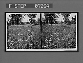 view [Blossoms.] [Active no. 21095: stereo interpositive] digital asset: [Blossoms.] [Active no. 21095: stereo interpositive].