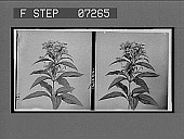 view [Flowers.] [Active no. 21096: stereo interpositive] digital asset: [Flowers.] [Active no. 21096: stereo interpositive].