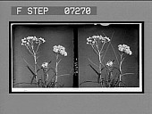 view [Blossoms.] [Active no. 21100: stereo interpositive] digital asset: [Blossoms.] [Active no. 21100: stereo interpositive].