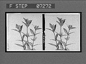 view [Blossoms.] [Active no. 21102: stereo interpositive] digital asset: [Blossoms.] [Active no. 21102: stereo interpositive].