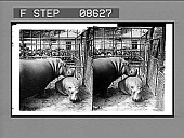 view 363. Putting baby hippo to bed, Cent. Park, N.Y. [Active no. 475 : stereo photonegative.] digital asset: 363. Putting baby hippo to bed, Cent. Park, N.Y. [Active no. 475 : stereo photonegative.]