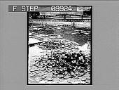 view Lily Pond Central Park, New York, U. S. A. 21739 photonegative digital asset: Lily Pond Central Park, New York, U. S. A. 21739 photonegative.