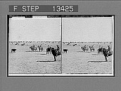 view Among the 30,000 cattle of Sierra Bonita Ranch--lassoing a yearling. [Active no. 6156 : stereo photonegative.] digital asset number 1