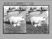 view [Pigs. Active no. 8884 : stereo photonegative,] 1905 digital asset number 1
