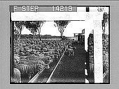 view Drink for 5,000 thirsty sheep on a big ranch at Warrah. 10285 Photonegative 1908 digital asset number 1