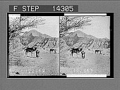 view Bedouins with camels traversing wilderness between Elim and Sinai. 10824 Photonegative 1910 digital asset number 1