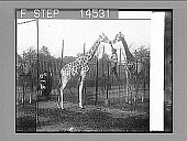 view A pair of Nubian (three-horned) giraffes, from German East Africa, Bronx Park, N.Y. City. 11470 photonegative digital asset: A pair of Nubian (three-horned) giraffes, from German East Africa, Bronx Park, N.Y. City. 11470 photonegative 1913.