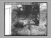 """view Atlantic Walrus (""""whale horse"""") relative to seal and sea lion, Bronx Park, N.Y. City. 11471 photonegative digital asset: Atlantic Walrus (""""whale horse"""") relative to seal and sea lion, Bronx Park, N.Y. City. 11471 photonegative 1913."""