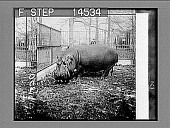 view Bulky hippopotamus, over a ton in weight, in Bronx Park, N.Y. City. (Native of German East Africa.) [Active no. 11473 : half stereo photonegative,] digital asset: Bulky hippopotamus, over a ton in weight, in Bronx Park, N.Y. City. (Native of German East Africa.) [Active no. 11473 : half stereo photonegative,] 1913.