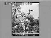 view Disturbed--Blue Heron. Copyright 1892 by Geo. Barker. [on negative] [Non-stereo photonegative,] digital asset: Disturbed--Blue Heron. Copyright 1892 by Geo. Barker. [on negative] [Non-stereo photonegative,] 1892.