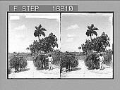 "view ""------er Carrying Grass to Market, Province of Havana;.... Copyright 1899 by Strohmeyer & Wyman."" [on negative.] Caption no. 23723 : stereoscopic photonegative digital asset: ""------er Carrying Grass to Market, Province of Havana;.... Copyright 1899 by Strohmeyer & Wyman."" [on negative.] Caption no. 23723 : stereoscopic photonegative, 1899."