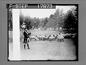 view An innovation in golf- Piping pro acts as herdsman and fairway is trimmed by sheep as they graze. [photonegative] digital asset: An innovation in golf- Piping pro acts as herdsman and fairway is trimmed by sheep as they graze. [photonegative], 07/03/1926.
