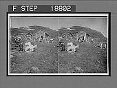 view Pretty Norwegian girls tending cows and goats on the Haukeli Mts. (Midtlaeger sector). 630 Interpositive digital asset: Pretty Norwegian girls tending cows and goats on the Haukeli Mts. (Midtlaeger sector). 630 Interpositive 1905