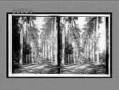 "view Palms of Cuba, the ""Pearl of the Antilles,"" Botanical Gardens. 6513 Interpositive digital asset: Palms of Cuba, the ""Pearl of the Antilles,"" Botanical Gardens. 6513 Interpositive."