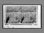 view Picking the famous Uji Tea near Tokyo. 8029 Interpositive digital asset: Picking the famous Uji Tea near Tokyo. 8029 Interpositive 1896.