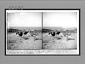 view Ostriches on a farm near Sydney, with outlook over the Tasman Sea. 10274 Interpositive digital asset: Ostriches on a farm near Sydney, with outlook over the Tasman Sea. 10274 Interpositive
