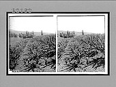 view Tasmania's greatest industry, apple-growing near New Norfolk. 10295 Interpositive digital asset: Tasmania's greatest industry, apple-growing near New Norfolk. 10295 Interpositive 1908.