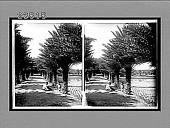 view Tropical beauty of an avenue of date palms, Moanalua near Honolulu, H.Is. 10695 Interpositive digital asset: Tropical beauty of an avenue of date palms, Moanalua near Honolulu, H.Is. 10695 Interpositive 1910.