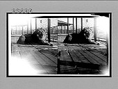 view A noble Barbary lion, the king of beasts, Bronx Park, N.Y. City. [Active no. 11551 : stereo interpositive.] digital asset: A noble Barbary lion, the king of beasts, Bronx Park, N.Y. City. [Active no. 11551 : stereo interpositive.]