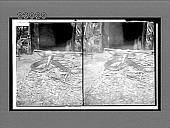 view Cobra-de-capello, the terror of India that kills 20,000 people a year, Bronx Park, N.Y. City. [Active no. 11554 : stereo interpositive.] digital asset: Cobra-de-capello, the terror of India that kills 20,000 people a year, Bronx Park, N.Y. City. [Active no. 11554 : stereo interpositive.]