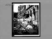 view How Hindu cows enjoy life in Calcutta--sidewalk scene on Harrison St., looking west. 3499 Interpositive digital asset: How Hindu cows enjoy life in Calcutta--sidewalk scene on Harrison St., looking west. 3499 Interpositive