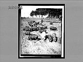 view Genuine corn-fed pork--feeding hogs in a prairie pasture. 5793 Interpositive digital asset: Genuine corn-fed pork--feeding hogs in a prairie pasture. 5793 Interpositive.