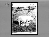 view [Pigs.] 8884 Interpositive digital asset: [Pigs.] 8884 Interpositive 1905.