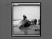 view Skinning whale to get at blubber, Long Island beach. 11232 Interpositive digital asset: Skinning whale to get at blubber, Long Island beach. 11232 Interpositive.