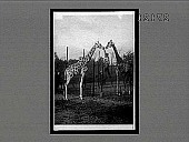 view A pair of Nubian (three-horned) giraffes, from German East Africa, Bronx Park, N.Y. City. [Active no. 11470 : interpositive,] digital asset: A pair of Nubian (three-horned) giraffes, from German East Africa, Bronx Park, N.Y. City. [Active no. 11470 : interpositive,] 1913.