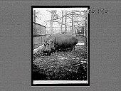 view Bulky hippopotamus, over a ton in weight, in Bronx Park, N.Y. City. [Active no. 11473 : stereo interpositive,] digital asset: Bulky hippopotamus, over a ton in weight, in Bronx Park, N.Y. City. [Active no. 11473 : stereo interpositive,] 1913.