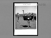 view [Ostrich.] 22341 Interpositive digital asset: [Ostriches : Active no. 8013 : interpositive.]