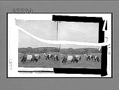 view Belted Dutch cattle--grazing scene on a bonded stock farm. 5804 Interpositive digital asset: Belted Dutch cattle--grazing scene on a bonded stock farm. 5804 Interpositive.