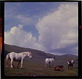 view [Horses in a pasture, Scotland : color slide (chromogenic phototransparency).] digital asset: [Horses in a pasture, Scotland : color slide (chromogenic phototransparency).]