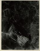 view Seed Pod, Araujia (milkweed) digital asset: Photograph by Imogen Cunningham, 'Araujia'