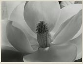view Magnolia Flower 1925 digital asset: Photograph by Imogen Cunningham, 'Magnolia Flower'