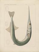 """view Engraving of fish species """"Belone scrulator"""" digital asset number 1"""
