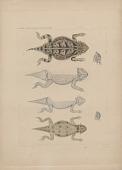 "view Engraving of lizard species ""Phrynosoma regale, Doliosaurus m'callii"" digital asset number 1"