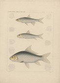 """view Engraving of fish species """"Ictiobus tumidus, Pytchostomus albidus, Luxilus leptosomus"""" digital asset number 1"""