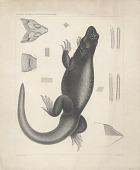 """view Engraving of lizard species""""Euphryne obesus"""" digital asset number 1"""
