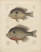 """view Engraving of fish species """"Pomotis heros, Pomotis fallax"""" digital asset number 1"""