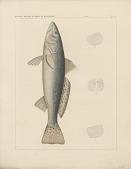 """view Engraving of fish species """"Otolithus drummondii"""" digital asset number 1"""