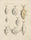 """view Engraving of fish species """"Caragnus esculentus, Doliodon carolinus, Chorinemus lanceolatus, Chloroscombrus cambraeus, Argyreiosus capillaris, Vomer setapinnis"""" digital asset number 1"""
