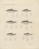 "view Engraving of fish species ""Moniana rutila, Moniana formosa, Moniana gibbosa, Moniana aurata, Moniana frigida, Moniana couchi"" digital asset number 1"